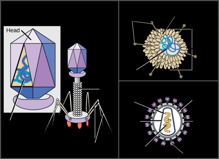 An illustration shows bacteriophage T4, which houses its DNA genome in a hexagonal head. A long, straight tail extends from the bottom of the head. Tail fibers attached to the base of the tail are bent, like spider legs. An adenovirus houses its DNA genome in a round capsid made from many small capsomere subunits. Glycoproteins extend from the capsomere, like pins from a pincushion. The HIV retrovirus houses its RNA genome and an enzyme called reverse transcriptase in a bullet-shaped capsid. A spherical viral envelope, lined with matrix proteins, surrounds the capsid. Glycoproteins extend from the viral envelope.