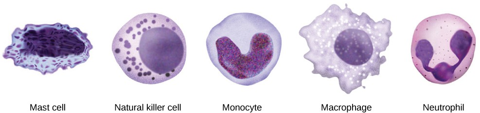 Illustration shows several innate immunity cells. Mast cells have an abundance of cytoplasmic granules and an irregular nucleus. Natural killer cells and neutrophils are filled with granules. Neutrophils have a multi-lobed nucleus. Macrophages are irregular in shape, with a round nucleus.