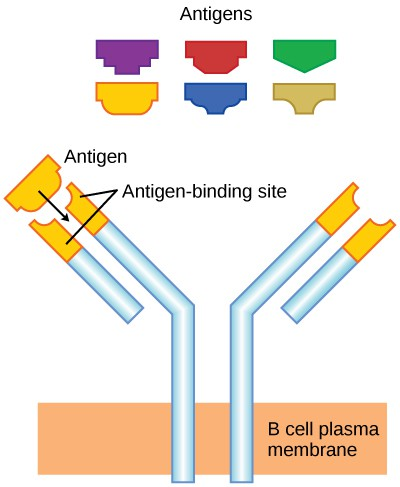 Illustration shows a Y-shaped B cell receptor that projects up from the plasma membrane. The upper portion of both ends of the Y is the variable region that makes up the antigen binding site.