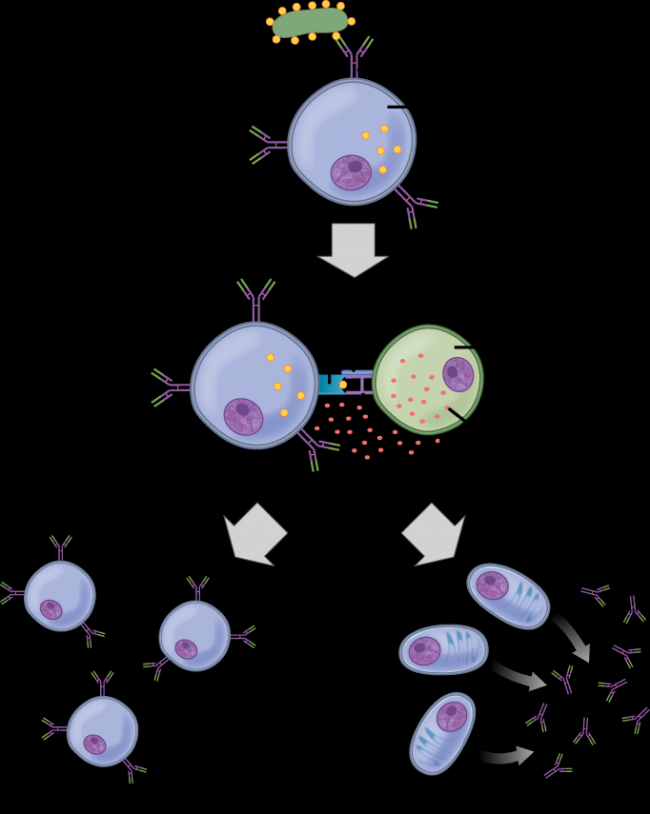 Illustration shows activation of a B cell. An antigen on the surface of a bacterium binds the B cell receptor. The B cell engulfs the antigen, and presents the antigen on its surface in conjunction with a MHC II receptor. A T cell receptor and CD4 molecule on the surface of a helper T cell recognize the antigen–MHC II complex and activate the B cell. The B cell divides and turns into memory B cells and plasma cells. Memory B cells present antigen-specific antibody on their surface. Plasma B cells excrete antibodies.
