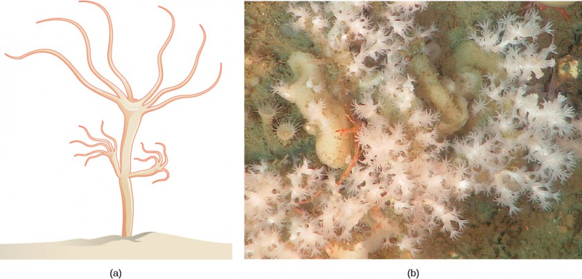 Part a: This shows a hydra, which has a stalk-like body with tentacles growing out the top. A smaller hydra is budding from the side of the stalk. Part b: This photo shows branching white coral polyps.