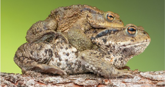 Photo shows mating toads. The larger female carries the smaller male on her back.