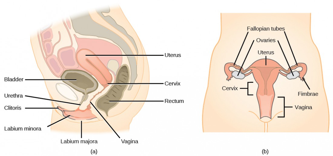 Side and front views of female reproductive organs are shown. The vagina is wide at the bottom, and narrows into the cervix. Above the cervix is the uterus, which is shaped like a triangle pointing down. Fallopian tubes extend from the top sides of the uterus. The Fallopian tubes curve back in toward the uterus, and end in fingerlike appendages called fimbrae. The ovaries are located between the fimbrae and the uterus. The urethra is located in front of the vagina, and the rectum is located behind. The clitoris is a structure located in front of the urethra. The labia minora and labia majora are folds of tissue on either side of the vagina.