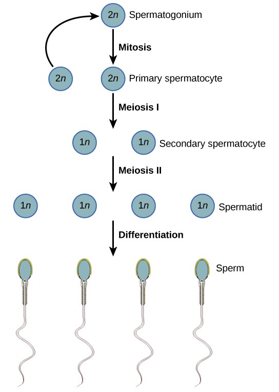 Spermatogenesis begins when the 2n spermatogonium undergoes mitosis, producing more spermatogonia. The spermatogonia undergo meiosis I, producing haploid (1n) secondary spermatocytes, and meiosis II, producing spermatids. Differentiation of the spermatids results in mature sperm.