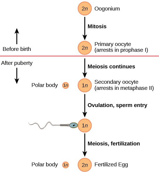 Oogenesis begins when the 2n oogonium undergoes mitosis, producing a primary oocyte. The primary oocytes arrest in prophase 1 before birth. After puberty, meiosis of one oocyte per menstrual cycle continues, resulting in a 1n secondary oocyte that arrests in metaphase 2 and a polar body. Upon ovulation and sperm entry, meiosis is completed and fertilization occurs, resulting in a polar body and a fertilized egg.
