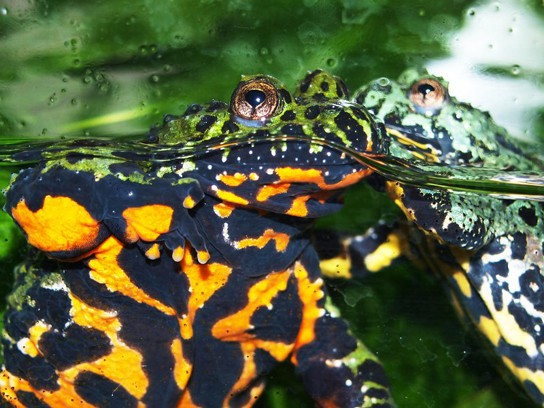 Photo shows a side view of a toad in an aquarium floating in the water: the belly is bright orange and black and its back and head are green and black.