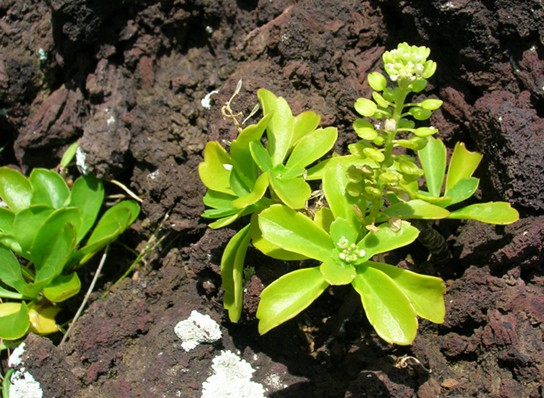 Photo shows a succulent plant growing in bare earth.
