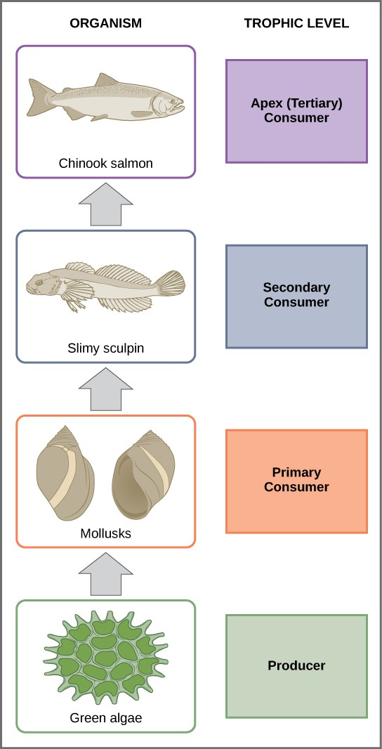 In this illustration, the bottom trophic level is green algae, which is the primary producer. The primary consumers are mollusks, or snails. The secondary consumers are small fish called slimy sculpin. The tertiary and apex consumer is Chinook salmon.