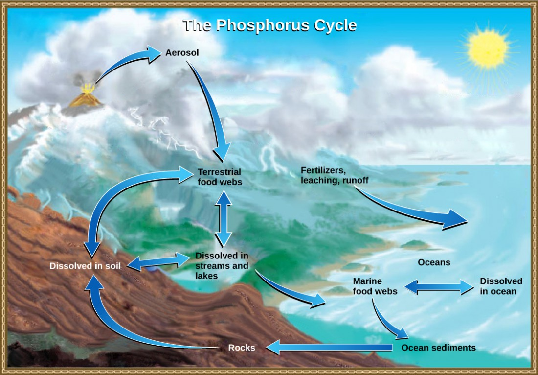 The illustration shows the phosphorus cycle. Phosphorus enters the atmosphere from volcanic aerosols. As this aerosol precipitates to earth, it enters terrestrial food webs. Some of the phosphorus from terrestrial food webs dissolves in streams and lakes, and the remainder enters the soil. Another source of phosphorus is fertilizers. Phosphorus enters the ocean via leaching and runoff, where it becomes dissolved in ocean water or enters marine food webs. Some phosphorus falls to the ocean floor where it becomes sediment. If uplifting occurs, this sediment can return to land.