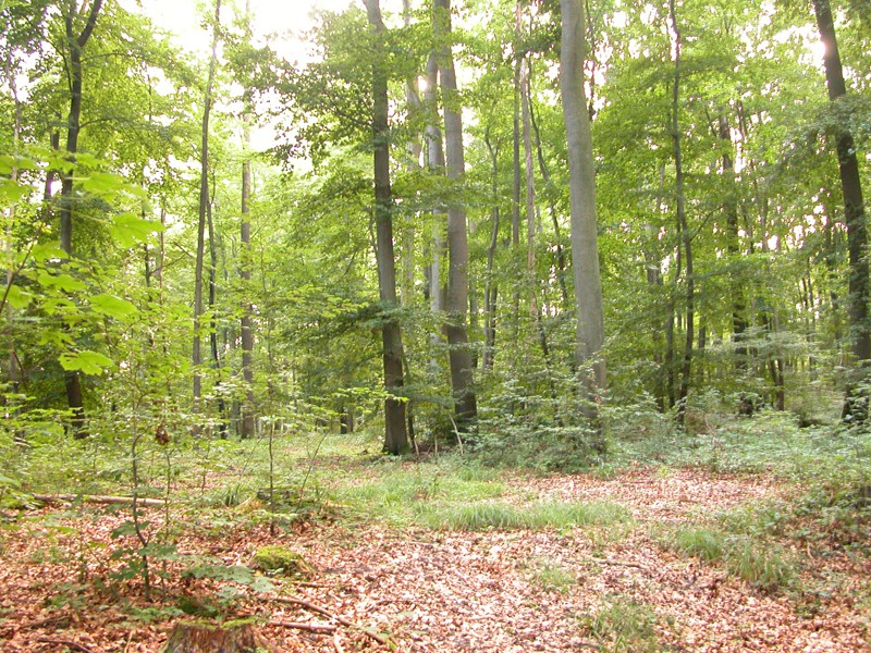 Photo shows a deciduous forest with many tall trees, some smaller trees and grass, and lots of dead leaves on the forest floor. Sunlight filters down to the forest floor.