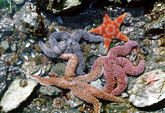 Photo shows sea urchins, mussel shells, and starfish in a rocky intertidal zone.