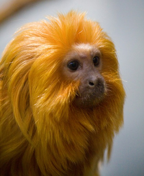 Photo shows the head and neck of a golden lion tamarin, a small monkey with a bare, flesh-colored face and plentiful long golden hair like a lion's mane.