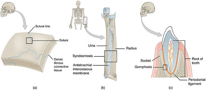 Image of fibrous joints with the tibiofibular syndesmosis demonstration in figure (b). The diagram includes the suture line, suture, dense fibrous connective tissue, ulna, radius, syndesmosis, antebrachial interosseous membrane, socket, gomphosis, root of tooth, and periodontal ligament.