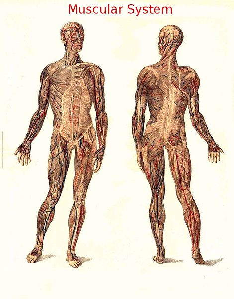 A drawing of skeletal muscle, shown as full front and back views of a human muscular system.