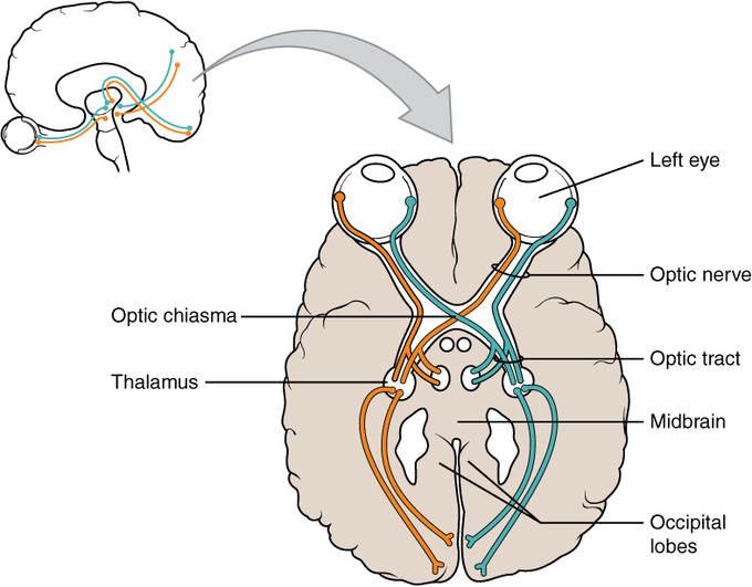 This is an illustration of the brain that highlights the optic nerve and optic tract. It shows how the eyes are connected to the optic nerve and optic tract, with these nerves moving back into the brain by crossing in the optic chiasm and connecting to the midbrain and occipital lobes.