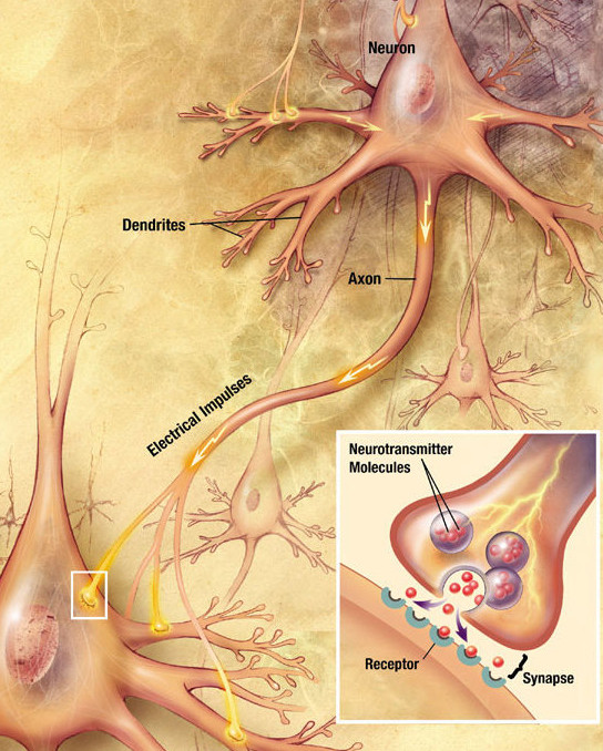 Introduction To The Nervous System Boundless Anatomy And Physiology