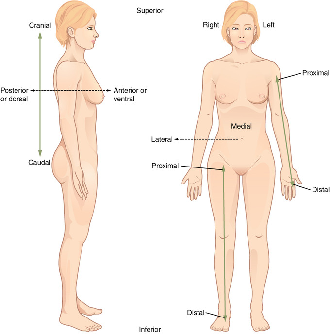 This image shows two female figures to demonstrate correct anatomical position labeling. The figure at left is turned to the side, with labels indicating that cranial refers to features toward the head while caudal refers to features that are closer to the feet. The front of the body is referred to as anterior or ventral, while the back is referred to as posterior or dorsal. The figure at right is facing forward in standard anatomical position. Labels indicate that proximal and distal are used to refer to the top and bottom of limbs, respectively. Medial is the term used for the center of the body, and lateral refers to features that are parallel to the medial.