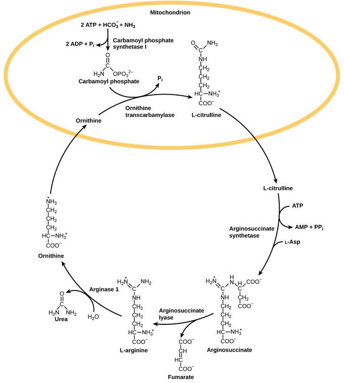 Water Balance | Boundless Anatomy and Physiology