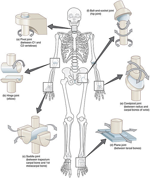 Image demonstrating the six different types of synovial joints, including pivot joint between C1 and C2 vertebrae, hinge joint (elbow), saddle joint (between first metacarpal bone and trapezius carpal bone), plane joint (between tarsal bones), condyloid joint (between radius and carpal bones of wrist), and ball and socket joint (hip).