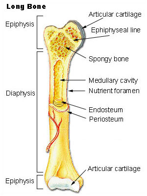 This is a drawing of a long bone that depicts its parts. It shows the location of the epiphyseal plates (or lines) and the articular surfaces of long bones, within the epiphysis on each end of the bone.