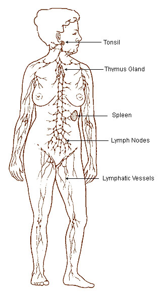 This diagram of the lymphatic system indicates the tonsil, thymus gland, spleen, lymph nodes, and lymphatic vessels.