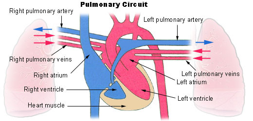 This diagram of the pulmonary circuit indicates the right and left pulmonary arteries, right and left pulmonary veins, left and right atria, left and right ventricles, and heart muscle.