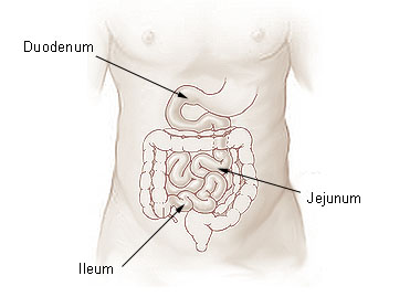 This is an illustration of the small intestine with the duodenum, jejunum, and ileum labeled.