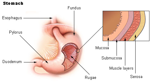 The stomach is illustrated, with a closeup view of the layers of stomach lining: the mucosa, submucosa, muscularis, and serosa.