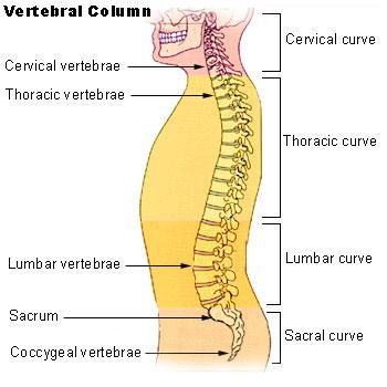 This diagram of the vertebral column delineates the sacral curve, cervical curve, thoracic curve, lumbar curve, coccygeal vertebrae, sacrum, lumbar vertebrae, thoracic vertebrae, cervical vertebrae.