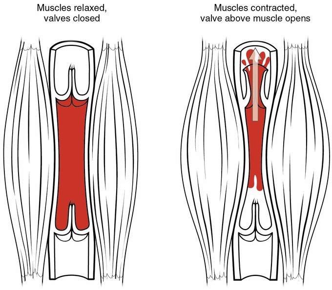 The skeletal muscle pump compresses a vein forcing blood back towards the heart.