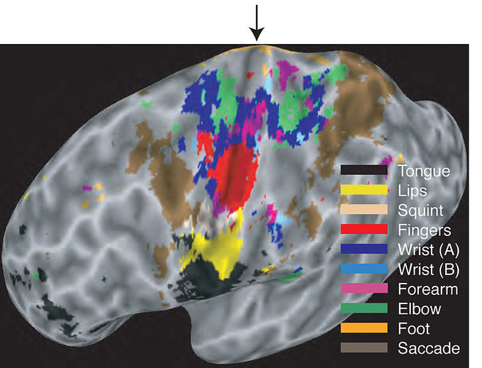 This map of the motor cortex indicates the regions of the brain that control specific areas of the body and actions, including tongue, lips, squint, fingers, wrist, forearm, elbow, foot, and saccade.