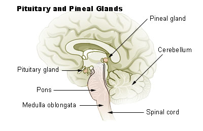 This is a drawing of the brain and spinal cord. It shows, from top to bottom, the positions of the pineal gland, pituitary gland, pons, cerebellum, and the medulla oblongata.