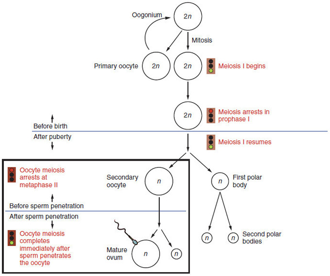 Diagram showing maturation of the ovum, including oogonium, mitosis, primary oocyte, meiosis I, meiosis arrests in prophase I, meiosis I resumes, secondary oocyte, first polar body, second polar bodies, mature ovum.
