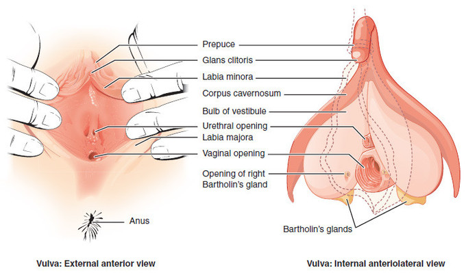 Labeled image of a vulva, showing external and internal views. This diagram indicates the prepuce, glans clitoris, labia minora, corpus cavernosum, bulb of vestibule, urethral opening, labia majora, vaginal opening, Bartholin's glands, opening of right Bartholin's gland, and anus.