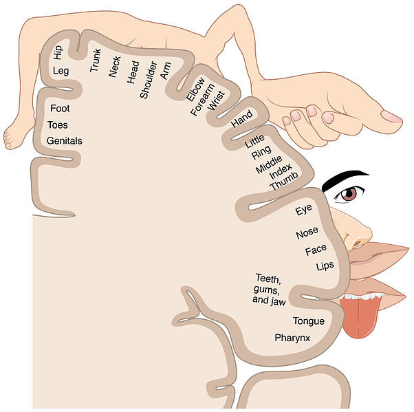 This depiction of the sensory homunculus illustrates the cortical areas that are mapped to the genitals, foot, toes, hip, leg, trunk, neck, head, shoulder, arm, elbow, forearm, wrist, hand, fingers, eye, nose, face, lips, teeth, gums, jaw, tongue, and pharynx.