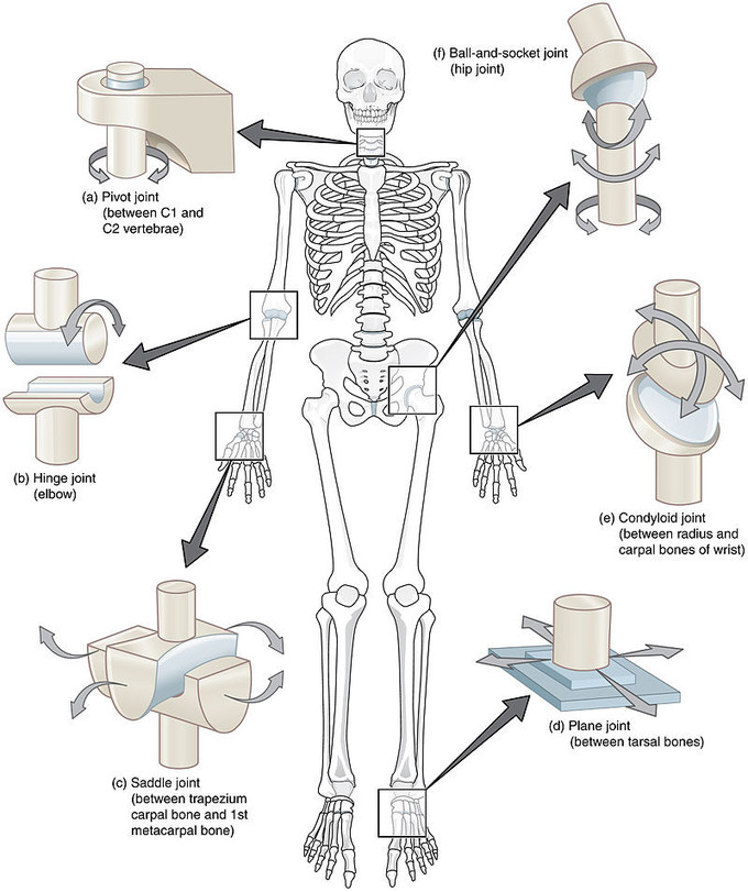 Classification Of Joints Boundless Anatomy And Physiology Want to learn more about it? classification of joints boundless