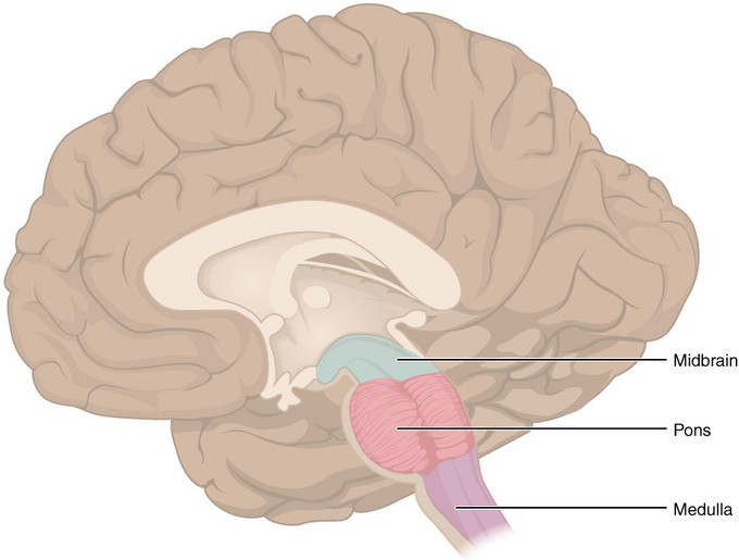 The brain stem boundless anatomy and physiology ccuart