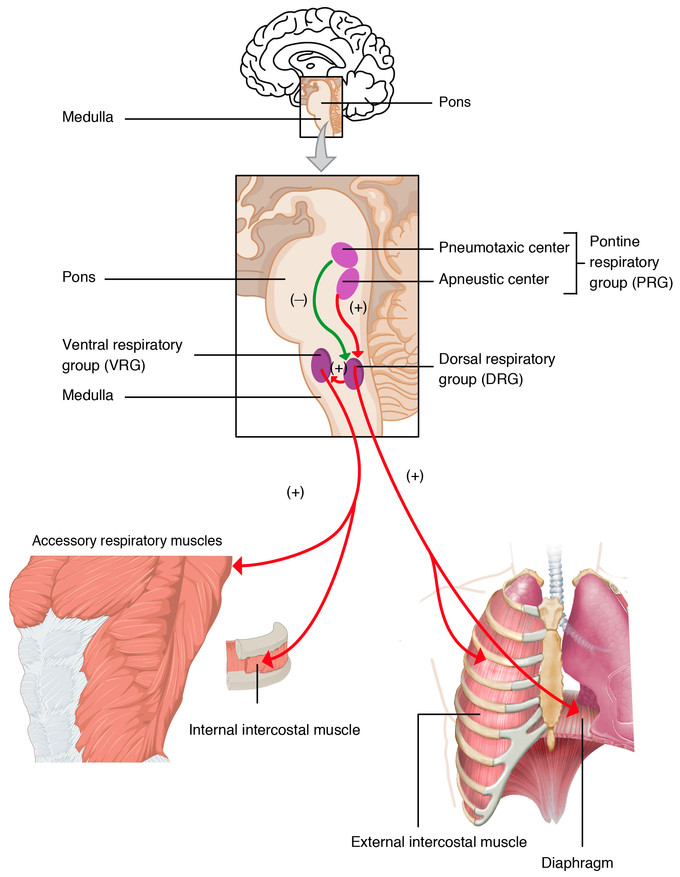 Respiration Control | Boundless Anatomy and Physiology