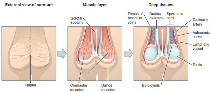 External view of the scrotum includes the raphe. Muscle layer of the scrotum includes the scrotal septum, the cremaster muscles, and the dartos muscles. Deep tissues layer of the scrotum includes the plexus of testicular veins, the ductus deferens, the spermatic cord, the testicular artery, the autonomic nerve, the lymphatic vessel, the testis, and the epididymis.