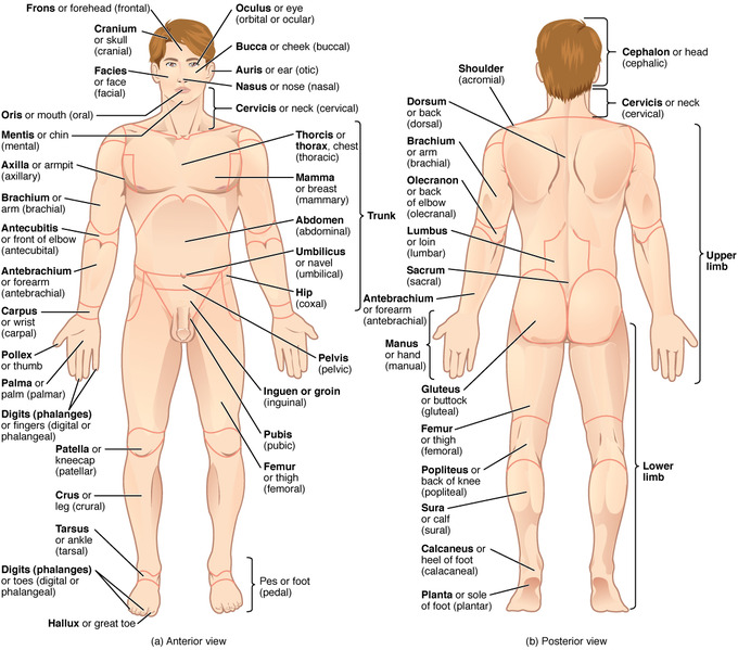 Mapping the Body | Boundless Anatomy and Physiology