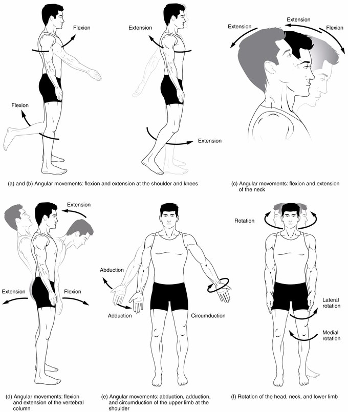 This diagram depicts various muscle movements. From left: Angular movements, flexion and extension at the shoulders and knees; Angular movements, flexion and extension of the neck; Angular movements, flexion and extension of the vertebral column; Angular movements, abduction, adduction, and circumduction of the upper limb at the shoulder; Rotation of the head, neck, and lower limb.