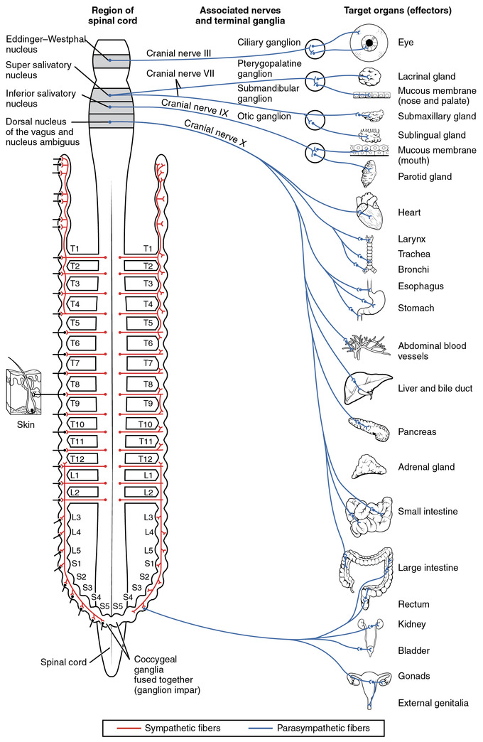 This is a diagram that shows the nerve innervation of the autonomic nervous system. The sympathetic fibers are shown as red lines in their places on the spinal cord. The parasympathetic nervous system, a division of the autonomic nervous system, is shown as blue lines that connect a particular organ to the spinal cord.