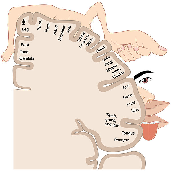 This is an image representing the cortical sensory homunculus. It shows how the anatomical portions of the body, such as the tongue, elbow, and hip, are mapped out on the homonculus. The surface area of cortex dedicated to a body part correlates with the amount of somatosensory input from that area.