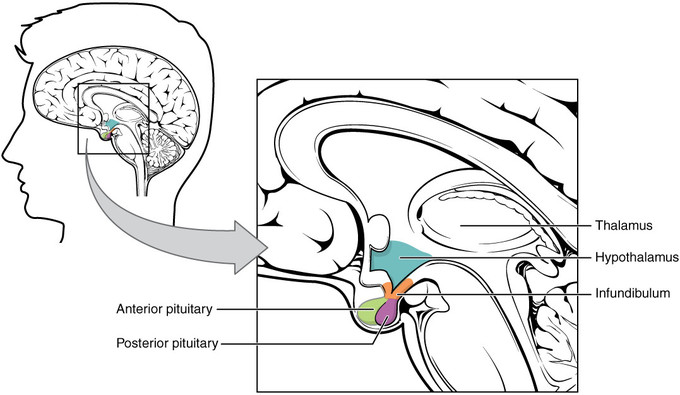 The illustration shows the location of the hypothalamus in the brain. It is between the thalamus and the infundibulum. The anterior and posterior pituitary glands are seen under the infundibulum.