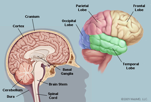 This diagram of the brain structure labels the parietal lobe, occipital lobe, frontal lobe, temporal lobe, cranium, cortex, cerebellum, basal ganglia, brain stem, dura, and spinal cord.