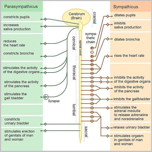 This chart summarizes the functions of the parasympathetic and sympathetic nervous systems that are detailed in the preceding text. The chart depicts a brain and a spinal cord descending from it. Along the spinal cord the parasympathetic and sympathetic nervous system functions are identified within the cervical, thoracic, lumbar, and sacral regions.