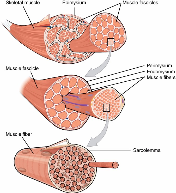 This diagram depicts the organization of connective tissue in the structure of the muscle. Terms include skeletal muscle, epimysium, muscle fascicles, perimysium, endomysium, muscle fibers, sarcolemma.