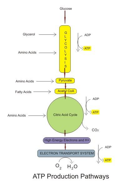 a description of glucose as the primary fuel used in glycolysis Once the stores of atp in the phosphagen system are used up the drawing above depicts glycolysis glucose is broken down by 10 the primary role of the.