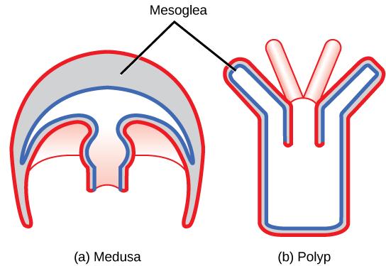 Phylum Cnidaria | Boundless Biology