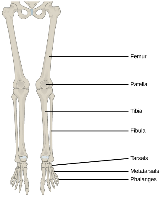 types of skeletal systems | boundless biology, Skeleton